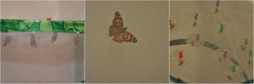painted lady's butterly larve