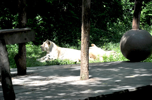 White Tigers hanging about in the shade The Cincinnati Zoo & Botanical Garden