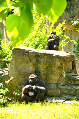 Younger and older gorillas at the Zoo.