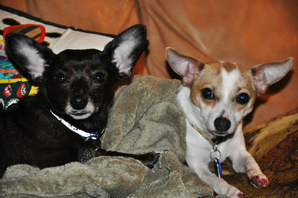 Marley and brother chihuahua terrier mix