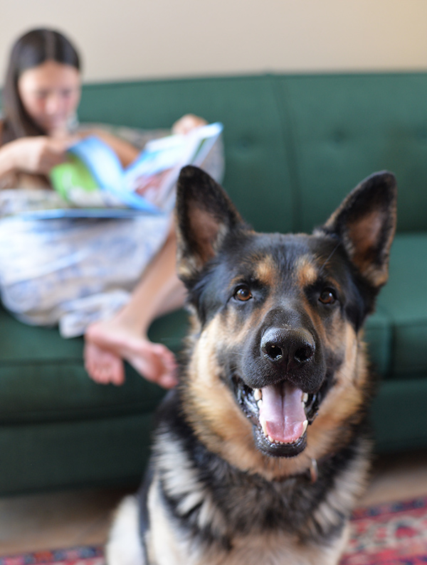 1.5 year old german male shepherd