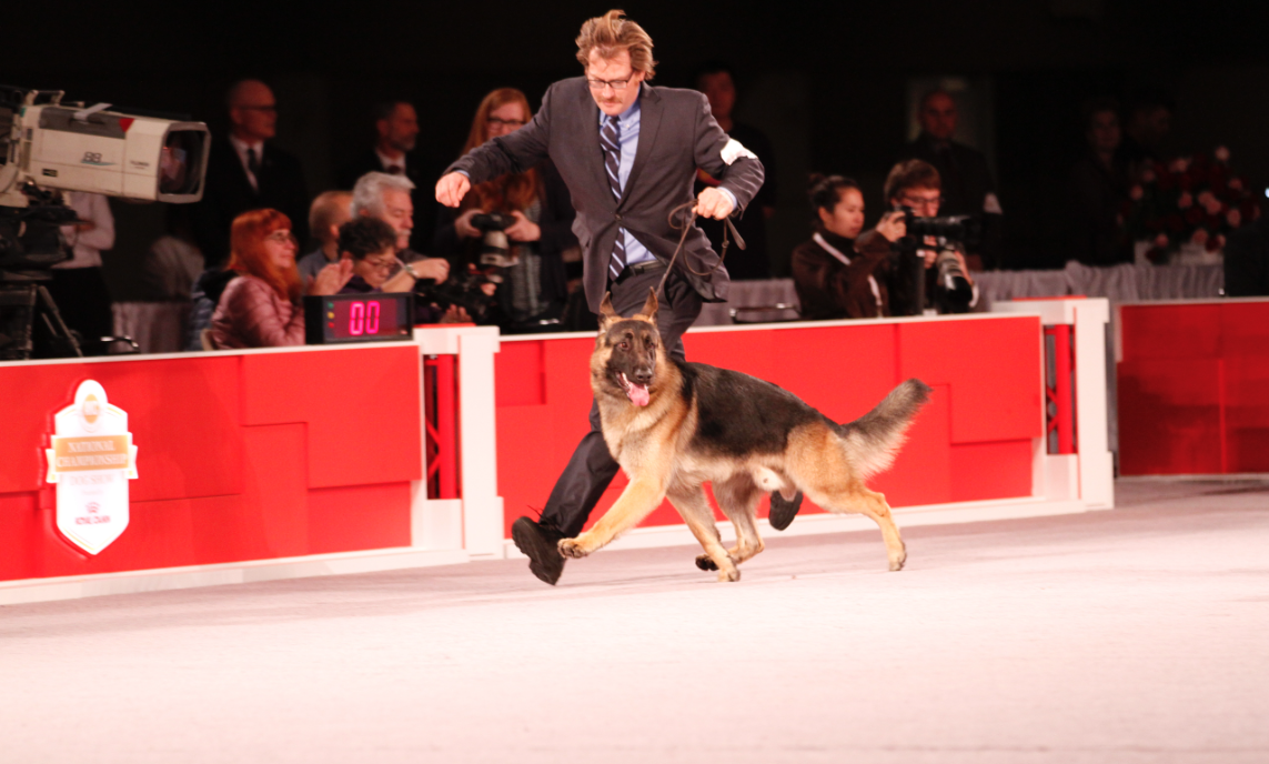 german shepherd runny at akc event